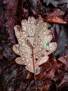 A fallen oak leaf covered with raindrops. The feeling of an autumn forest, wilting of nature.