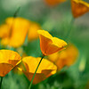 Orange Canadian Garden Poppies. Beautiful flowers and a beautiful combination of colors. The tenderness and pristine nature.