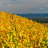 Yellow and orange vineyards in littl village Andlau,Alsace,France