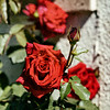 Stunningly beautiful red rose flowers in spring. Sunny weather.
