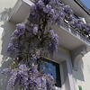 Lilac wisteria winds along the balcony and facade of the city house