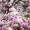 Beautiful pink magnolia on blue sky background, sunny day