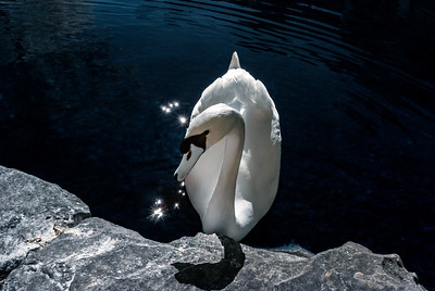 White swan on the lake water, infrared view