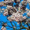 White cherry tree flowering, springtime in Strasbourg
