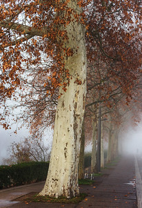 Beautiful big platane tree with orange leaves in the fog, Strasbourg