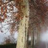 Beautiful big platane tree with orange leaves in the fog, Strasbourg