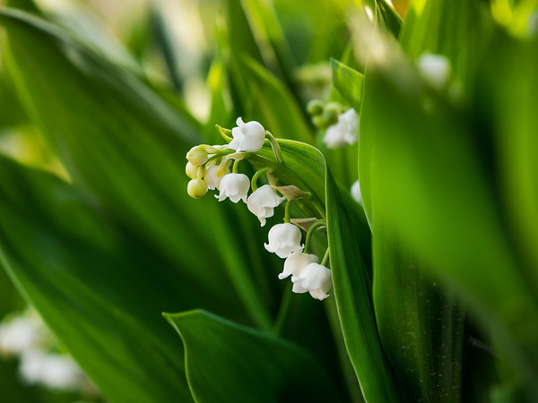 Tender white lilies of the valley on a background of green leaves. Spring macro landscape.