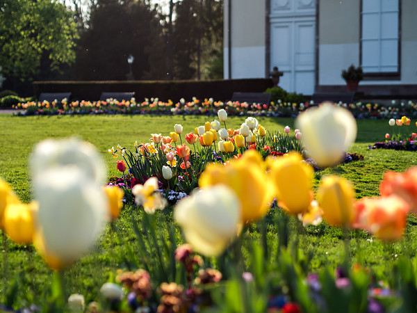 Blooming colorful tulips on flower beds in a spring park. Bright colors.