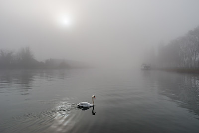 White swan in the fog over the river, winter day