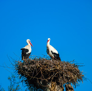 Beautiful white storks in the nest on blue sky backgroung, springtime