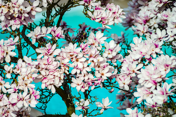 Beautiful pink magnolia on cyan swimming-pool background, aerial overview