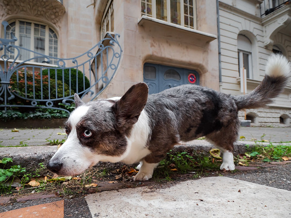 A cute corgi dog pissing on the street near the curb. Funny picture.