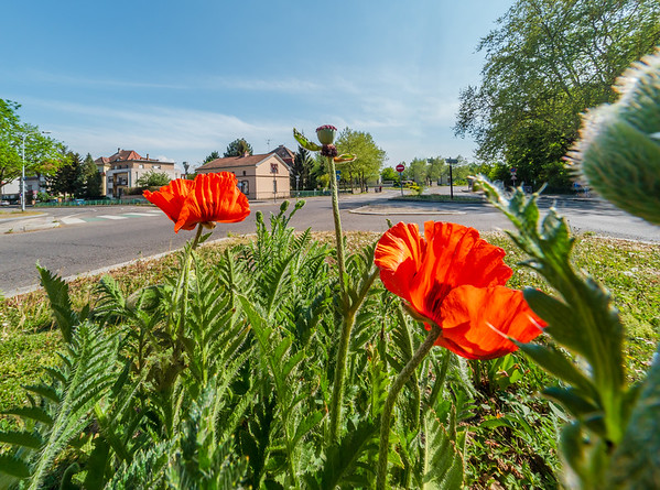 Red poppies are planted in the city at the crossroads.