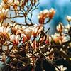 Beautiful pink magnolia flowering in Strasbourg, springtime in France