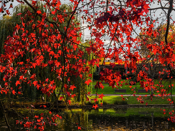 Falling leaves of red Japanese maple in the rays of the setting sun