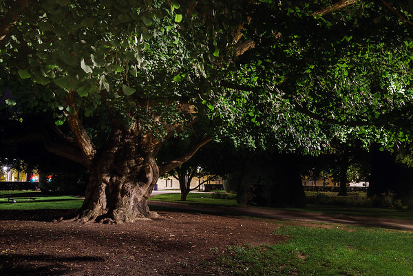 Old  big oak tree in public park, night view, Strasbourg