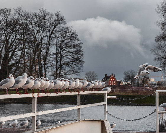 Seagulls sit in a straight line on the docks of ships on the Rhine.
