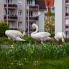 White swans eat grass on the lawn in a residential quarter of the city, next to people.