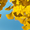The bright yellow color of the leaves of the ginkgo tree through which sunlight passes. The combination of blue and yellow