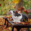 A cute corgi dog poses among red autumn leaves on a bench in the park. Leaves are flying from above. The feeling of wilting nature and the arrival of winter.