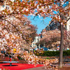 Flowering trees in Strasbourg. The atmosphere of spring. Sunny spring day.