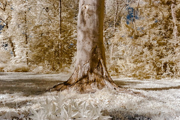 Beautiful tree in the park, infrared view