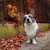 A cute corgi dog on the autumn street near the bicycles. Friend of man, kind expression on the face. Calm and quiet street in Strasbourg. A feeling of comfort.