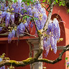 Flowering wisteria. Stunning lilac creepers. Sunny weather. Strasbourg. The comfort and beauty of a spring day in a quiet quarter of the city.
