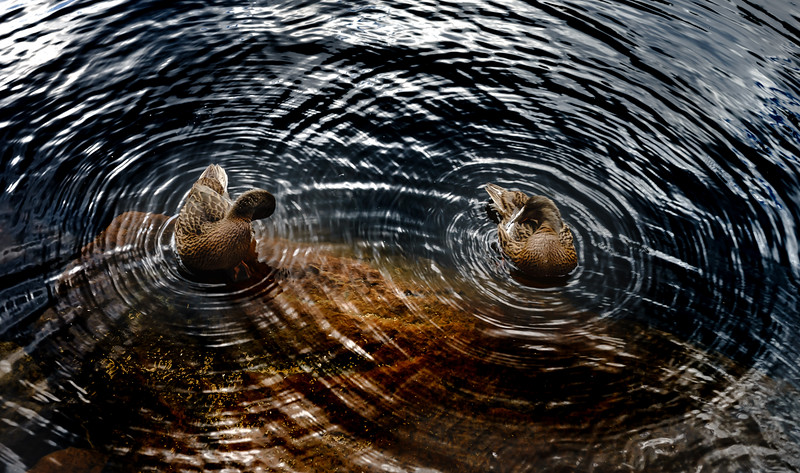 Circles around two ducks on the water of lake, geometrical