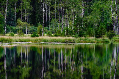 Symmetry of trees reflection in calm water of forest lake, freshness of nature