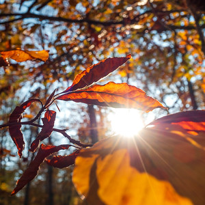The sun's rays make their way through the autumn multi-colored leaves. Orange and red shades of the autumn forest. Sunbeams.