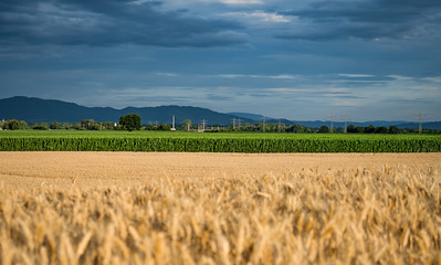 Ripe wheat in endless fields. Mountains on the horizon. Sunset sun.