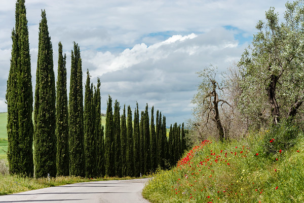 Stunning Tuscan landscape. An outgoing road framed by cypresses. Blooming red poppies.