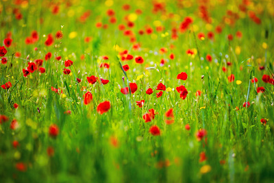 Green hills dotted with red blooming poppies. Beautiful spring landscape.