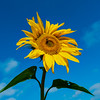 Bright yellow sunflower in the sun against a blue-blue sky. Beauty in nature.