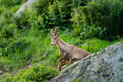 Alpine ibex portrait in high mountains, wild goat in natural life
