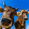Beautiful alpine brown cows on the farm