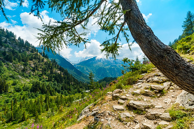 Lonely tree on the slope of mountain, Alps in France