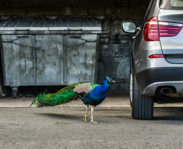 Beautiful peacock bird in the city, opposition of nature and urban life