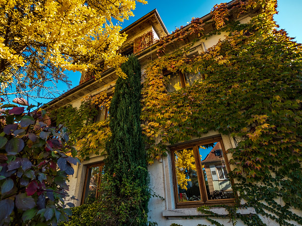 The bright yellow foliage of the ginkgo tree. Autumn leaf fall in the city.