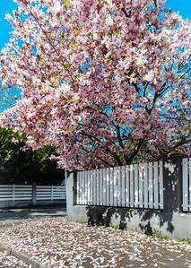Beautiful pink magnolia in Strasbourg, springtime, Alsace