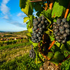 Sweet and juicy grape closeup view on vineyards in Alsace, sunny weather, harvest time