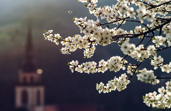 Blossom almond tree on the hill, spring day