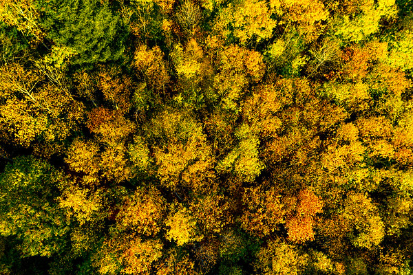 A drone rises above a multi-colored forest in the Vosges. Yellow, orange, red tree crowns.