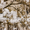 Magnolia flowering in infra red view