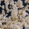 Sakura flowering in infra red view