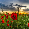 Colorful closeup of poppies at sunrise