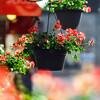 Flower pots hanging at cafe entrance