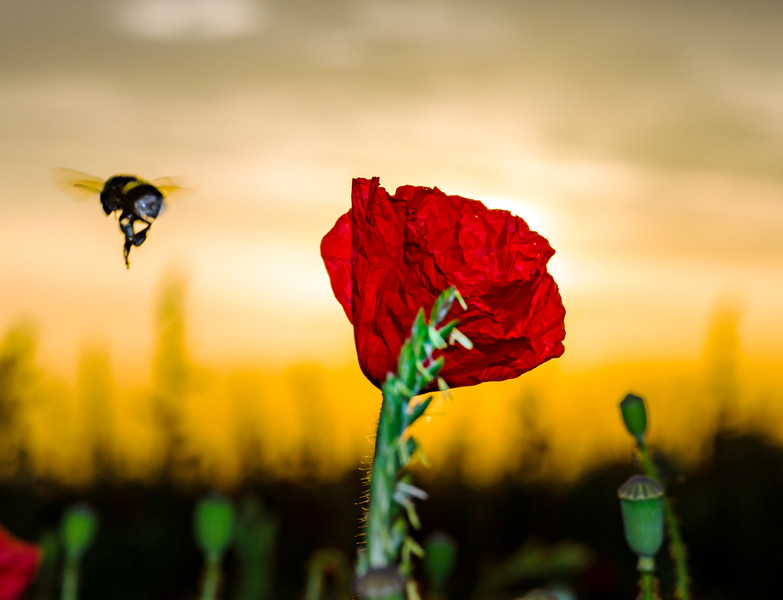 Flying bumblebee and red poppy, sunrise time, Alsace, France
