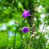 Blossom of bell-flowers
